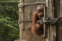 Orangutan (Pongo pygmaeus, Hominidae Family) baring teeth, Sepilok Orangutan Rehabilitation Centre, Sandakan, Sabah, Borneo, Malaysia.