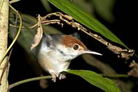 Red-headed Tailorbird (Orthotomus ruficeps, Cisticolidae Family) in bush, Night walk in rainforest, Sepilok National Park, Sandakan, Sabah, Borneo, Ma...