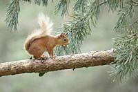 Eurasian Red Squirrel, Sciurus vulgaris, Scotland.