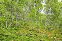 Craigellachie National Nature Reserve, Scotland.