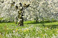 blooming cherry tree, Switzerland.