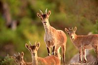 Mountain goat, females and youngs, (Capra hispanica) in the Sierra Javalambre. Teruel.