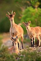 Mountain goat, female and youngs, (Capra hispanica) in the Sierra Javalambre. Teruel.