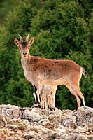 Mountain goat, female, (Capra hispanica) in the Sierra Javalambre. Teruel.