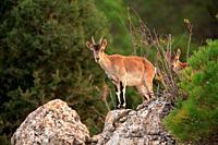 Mountain goat, female and young, (Capra hispanica) in the Sierra Javalambre. Teruel.