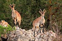 Mountain goat, two female, (Capra hispanica) in the Sierra Javalambre. Teruel.