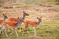 Group of females fallow deer (Dama dama) in Serranía de Cuenca.