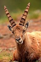 Male ibex (Capra ibex) in the national park Gran Paradiso. Italy.
