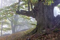 Big trunk and fog at Linar chestnut in autumn time. Avila. Spain. Europe.