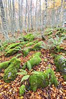 Selva de Irati forest near Orbaiceta, Navarra, Spain.