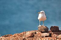 Seagull on a rock in Madeira island, Portugal