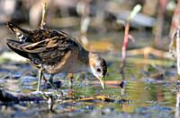 Little Crake (Porzana parva), Greece.
