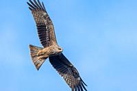Milvus migrans (Black Kite), Crete.