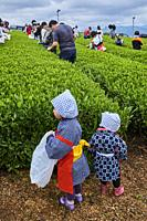 Japan, Honshu, Shizuoka, tea fields, tea picking festival.