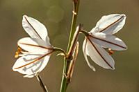 Gamón (Asphodelus albus). Almansa, Albacete Province, Spain.