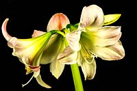 Amaryllis, flower in a closeup.