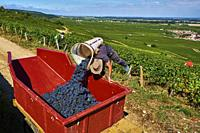 France, Burgundy, vineyard of Vosne Romané, Rion domain, grape harvest.