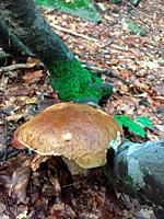 Boletus Edulis in the forest of the Tuscan-Emilian Apennines, Italy.