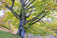 Beech tree in autumn in a beechwood. Urbasa-Andia Natural Park. Navarre, Spain, Europe.