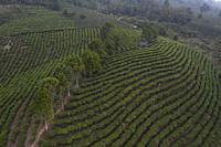 Aerial view of a Pu'er (Puer) tea plantation in Xishuangbanna, Yunnan - China.