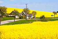Landscape with rapefield and country road in Mossby, Scania, Sweden.