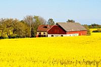 Farmhouse among rapefield at Charlottenlund, Scania, Sweden.