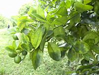 Orange citrus trees orchard heavily infected with huanglongbing yellow dragon citrus greening plague deadly disease Venezuela