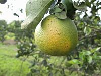 Orange citrus fruit heavily infected with huanglongbing yellow dragon citrus greening plague deadly disease Venezuela