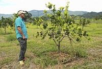 A farmer watch orange citrus tree orchard heavily infected with huanglongbing yellow dragon citrus greening plague deadly disease Venezuela