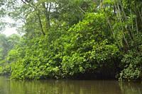Rain forest in Reserva de producción de fauna de Cuyabeno. Ecuador.