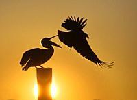 Pelican, Sanibel, Florida, USA.