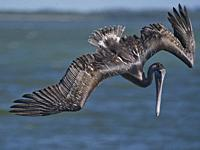 Pelican, Sanibel, Florida, USA.