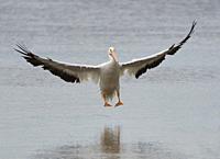 American White Pelican Ding Darlin, Sanibel, Florida, USA.