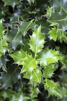 Natural Fresh Holly Leaf Background.