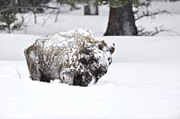 American bison / Amerikanischer Bison ( Bison bison ), heavy old bull covered with snow in strong winter, Yellowstone, Wyoming, USA. .