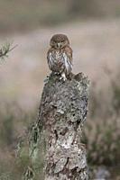 Ferruginous Pygmy Owl / Brasil-Sperlingskauz ( Glaucidium brasilianum ), perched on a rotten tree stump, looks forceful but cute. .