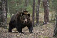 Eurasian Brown Bear / Europaeischer Braunbaer ( Ursus arctos ) walking up, coming up a hill in a forest, dangerous encounter, Europe.