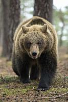 Brown Bear / Braunbaer ( Ursus arctos ), strong adolescent, walking through a forest, impressive encounter, close, frontal shot, Europe.