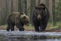 European Brown Bears / Europaeische Braunbaeren ( Ursus arctos ) walking along an ice covered waterhole in the woods, impressive.