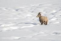 Bighorn Sheep / Dickhornschaf ( Ovis canadensis ), female in winter, in snow covered terrain, following a track, Yellowstone area, Wyoming, USA. .