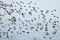 Wild ducks, mainly wigeons ( Mareca penelope ) and mallards mixed up with some Pintails, dense flock of wild ducks in fast flight, wildlife, Europe.