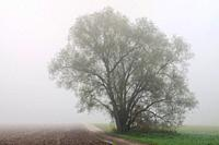 Old willow tree in mist on a cold November morning, November blues, in fall, Meerbusch, Lank-Latum, Germany, Europe.