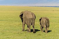 African elephant, Loxodonta africana, with young, Masai Mara National Reserve, Kenya, Africa.