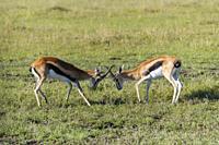 Thomsons Gazelle, Eudorcas thomsonii, fighting, Masai Mara National Reserve, Kenya, Africa.