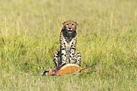 Cheetah, Acinonyx jubatus, Thomsons Gazelle kill, Masai Mara National Reserve, Kenya, Africa.