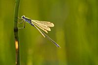 Emerald Damselfly (Lestes sponsa) male perched on a reed at Priddy Mineries in the Mendip Hills, Somerset.