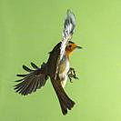 A Robin (Erithacus rubecula) photographed using High speed flash in free flight in the Uk.