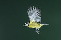 A Blue Tit (Parus caeruleus) photographed using High speed flash in free flight in the Uk.