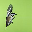 A Coal Tit (Parus ater) photographed using High speed flash in free flight in the Uk.