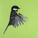 A Great Tit (Parus major) photographed using High speed flash in free flight in the Uk.